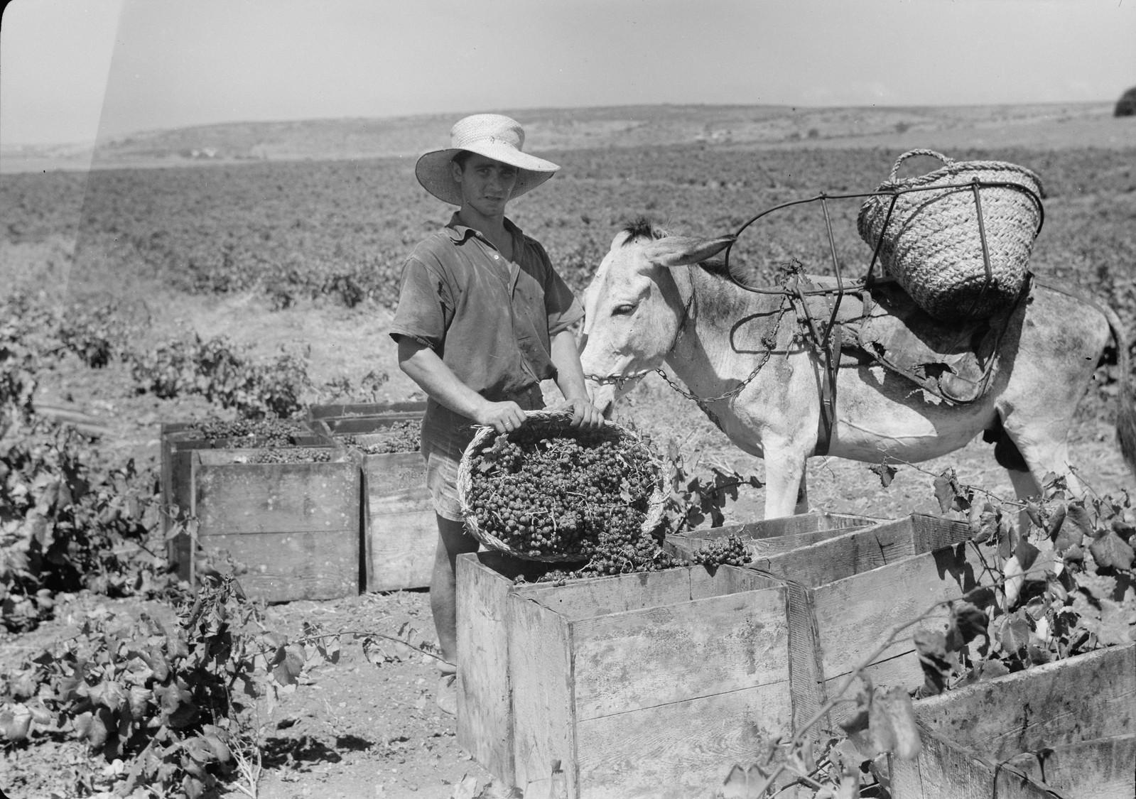 03. Виноград складывают в ящики