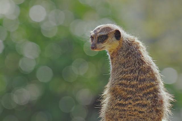Meerkat-Suricata suricatta