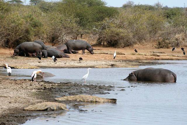Hippos, Kruger National Park, South Africa 20140815 Lower Sabie to Skukuza