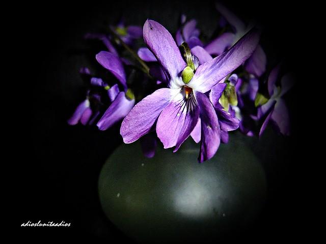 Sencillez y belleza de las violetas  058