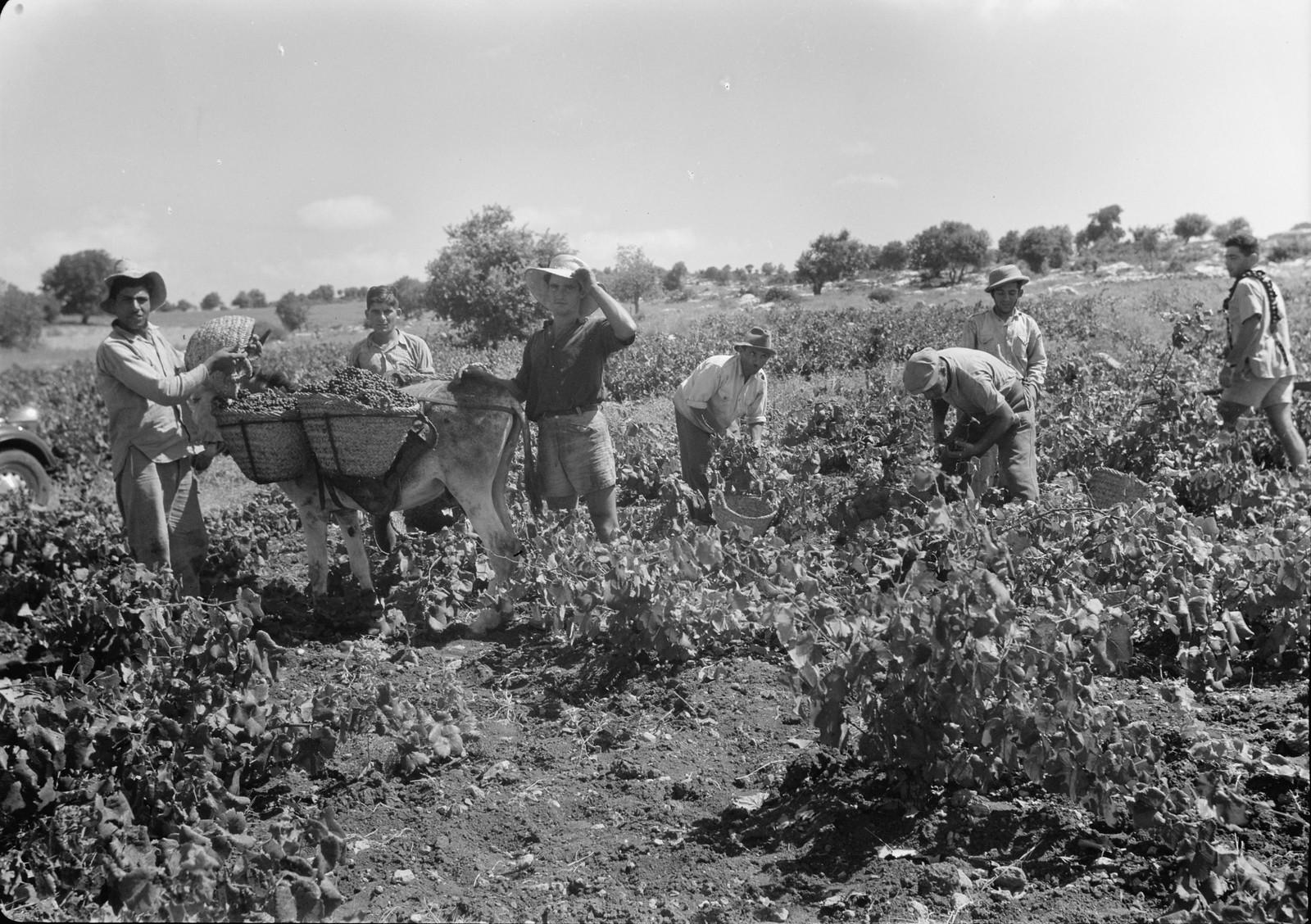 05. Сбор винограда