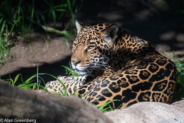 Jaguar in repose