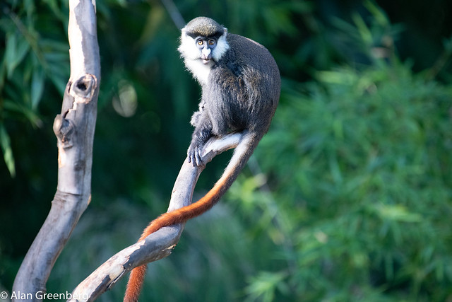 Schmidt's Red Tailed Monkey