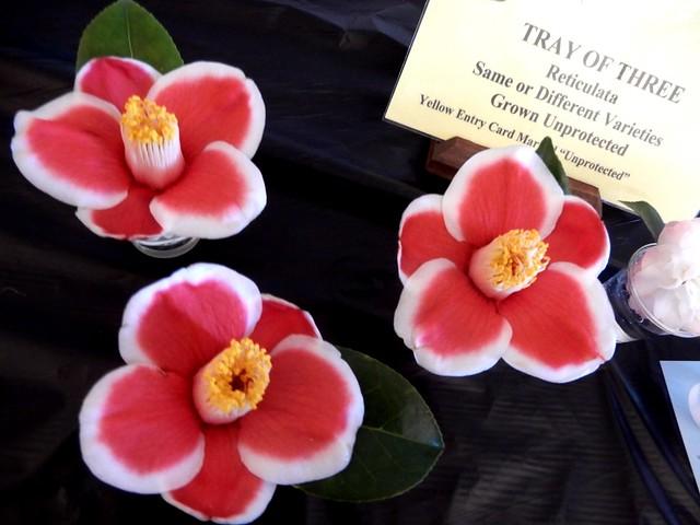 Midlands Camellia Society show