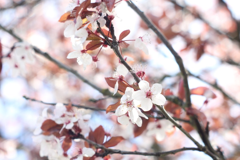 Cherry blossoms. Tacoma. Copyright Jonny Eberle.