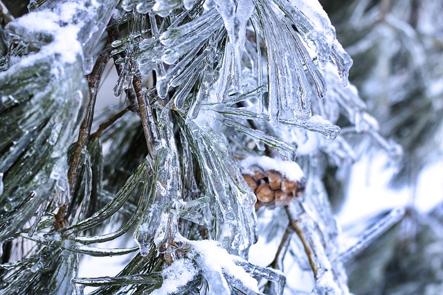 Pine tree icicles