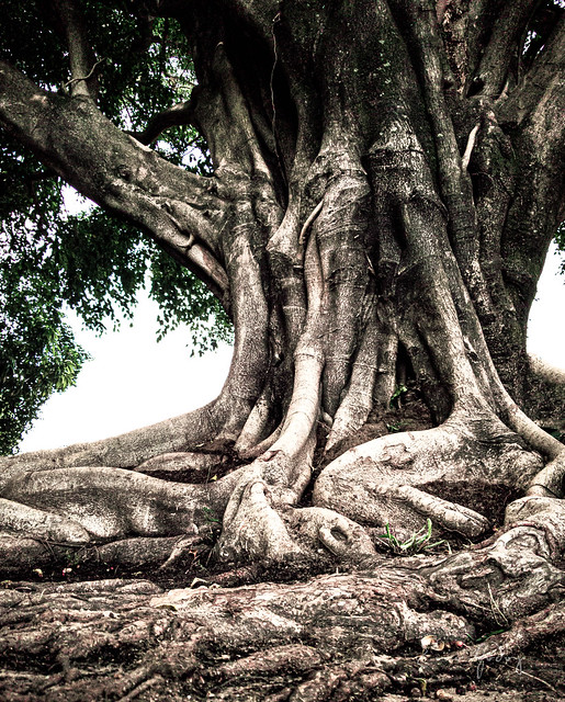 Fig Tree Roots 1