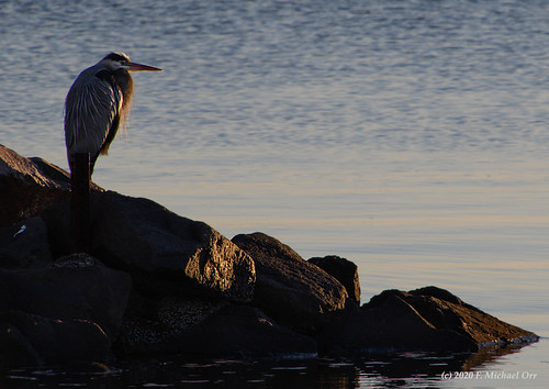 nikond7500 tamron18400f3563diiivchld virginia bird heron animal dawn sunrise river