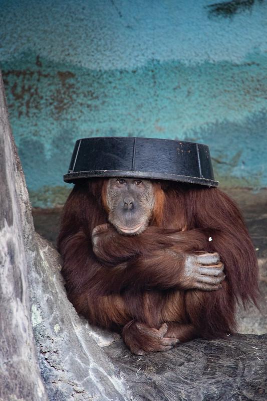 Mr. Orangutan and his Hat