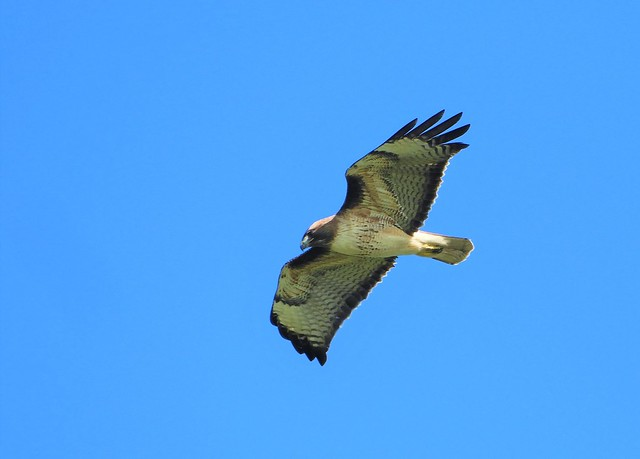 Red-Tailed Hawk hovering on the north wind.