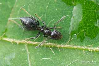 Ant (cf. Colobopsis sp.) - DSC_3755