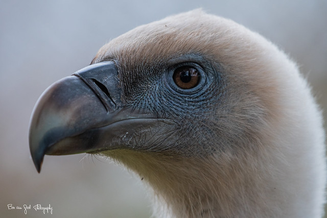 White-Back Vulture
