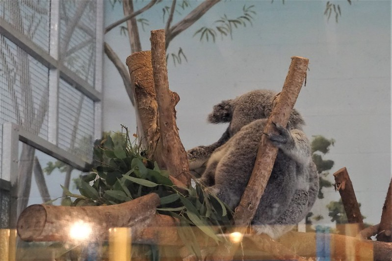 Ceduna and her Baby, Sydney, at the Koala Photo Encounter at ZooTampa at Lowry Park, Tampa, Fla., Jan. 2020