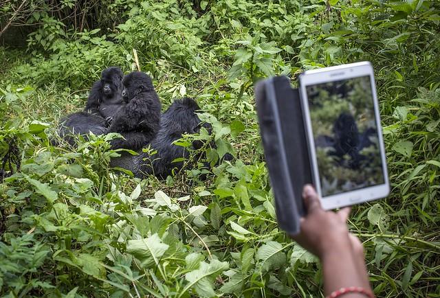 gorillas at Bwindi Impenetrable national Park 2