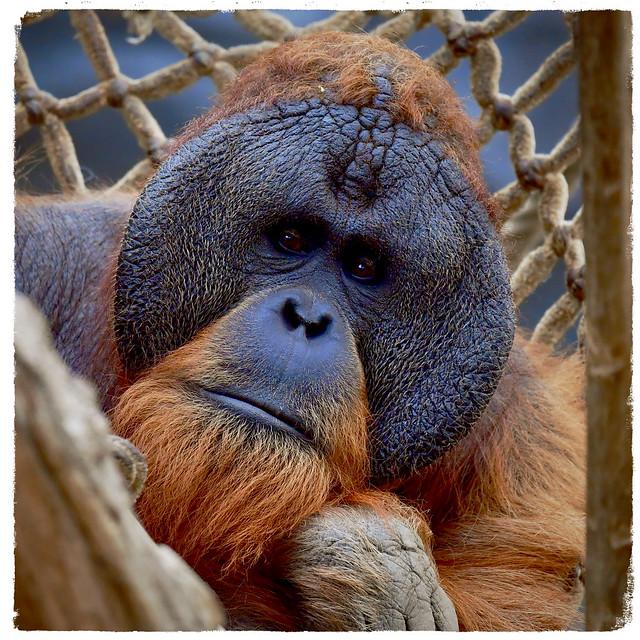 Sumatra Orang-Utan Tuan;