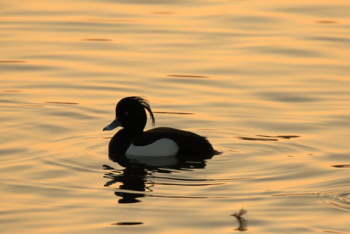 canon eos tamron chewvalley tufted duck sunrise