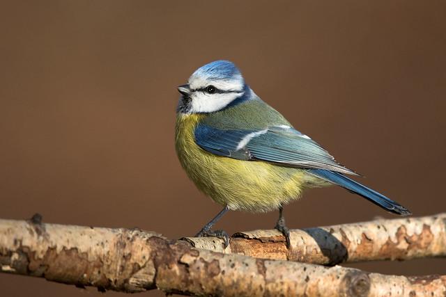 Blaumeise - Blue tit