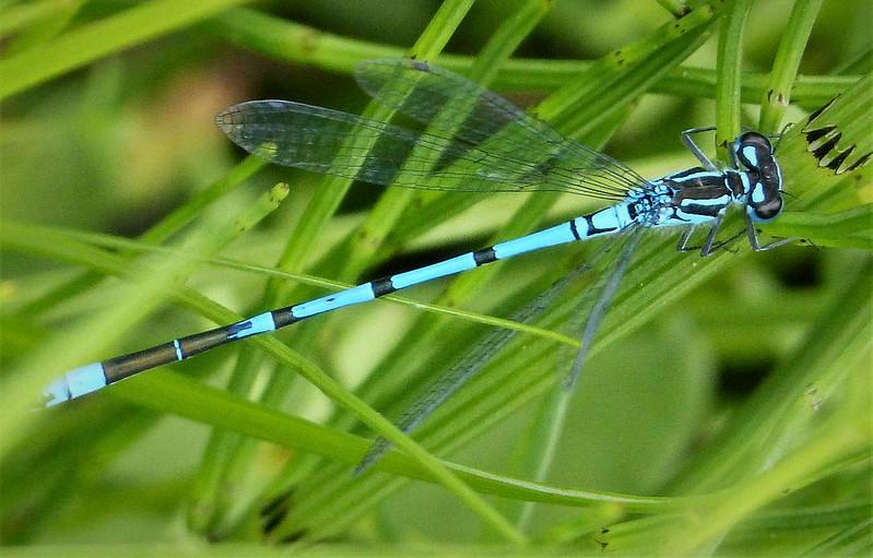 Azure Bluet male