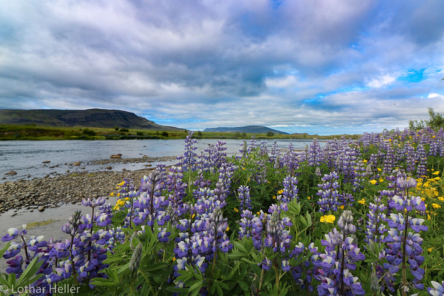 Iceland-Lupinen_0230