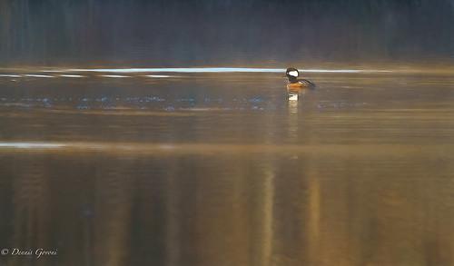 virginia background bird hoodedmerganser huntleymeadows merganser reflection sunrise water wildlife winter