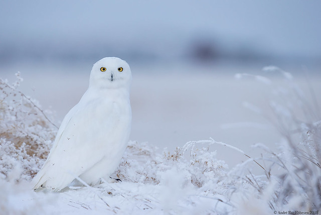 Snowy owl - adult male