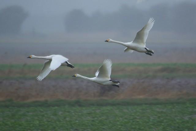 Bewick's Swan . Cygnus columbianus Romney Marsh