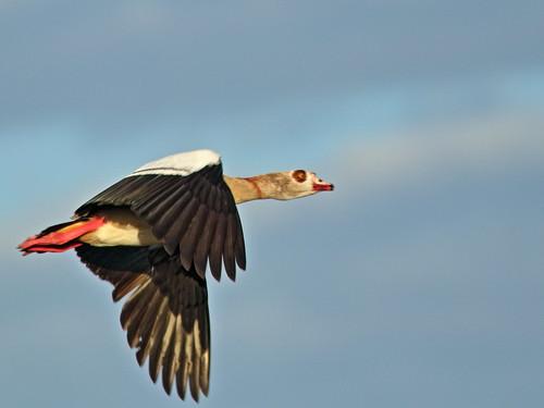 Egyptian Goose 01-20200209