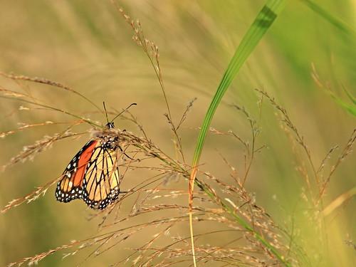Monarch in Phragmites head 20200209