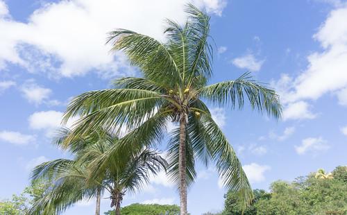 caribbean antille paysage landscape palmiers saintelucie stlucia caraïbes 3924