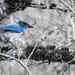 California Scrub Jay Delta Ponds