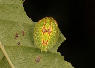 "Limacodid Slug Caterpillar (Cup Moth, Limacodidae) ""Button"""