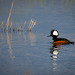 Hooded Merganser Finley