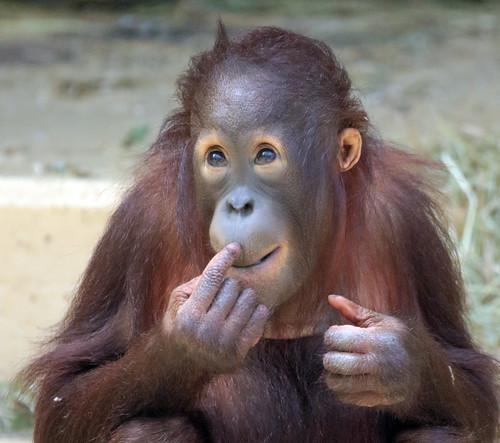 borneo orangutan Sabbar Ouwehand BB2A1443