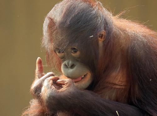 borneo orangutan Sabbar Ouwehand BB2A1463