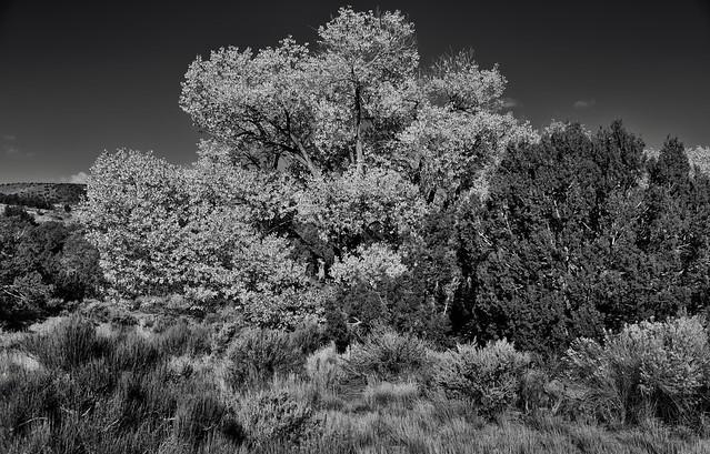 Autumn Leaves Along the Utah Highways (Black & White)