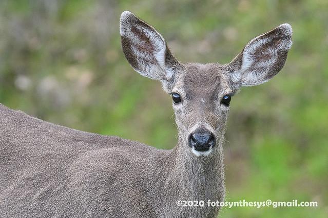 Columbian Black-tailed Deer (Odocoileus hemionus columbianus), adult DSD_0018