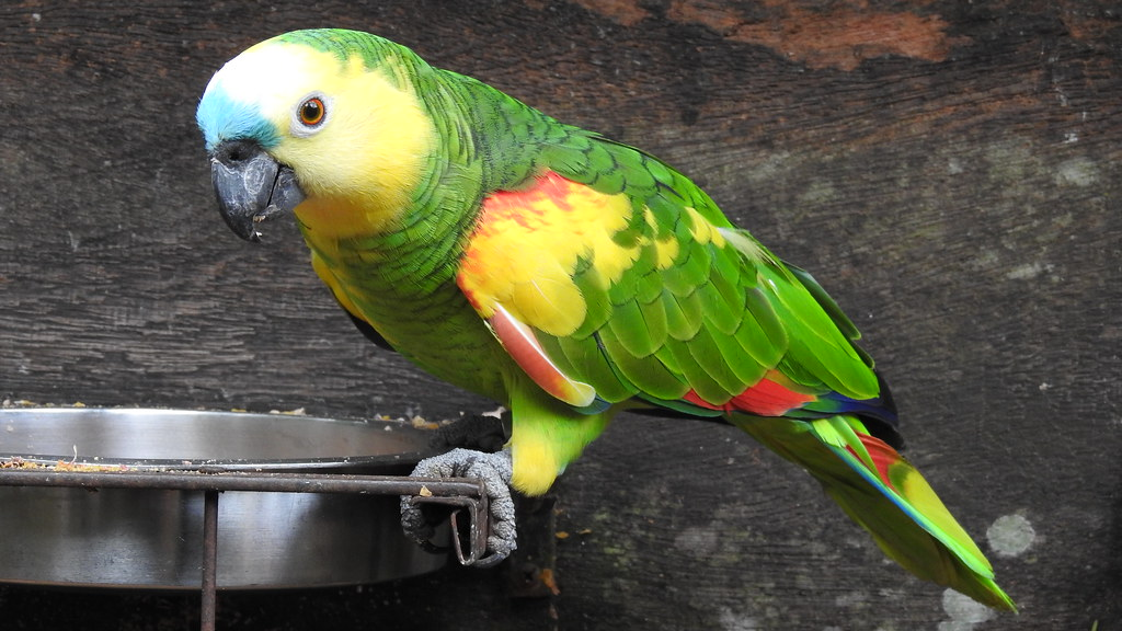 Turquoise-fronted Parrot - explore