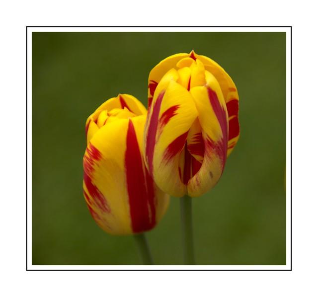 Tulip Twosome