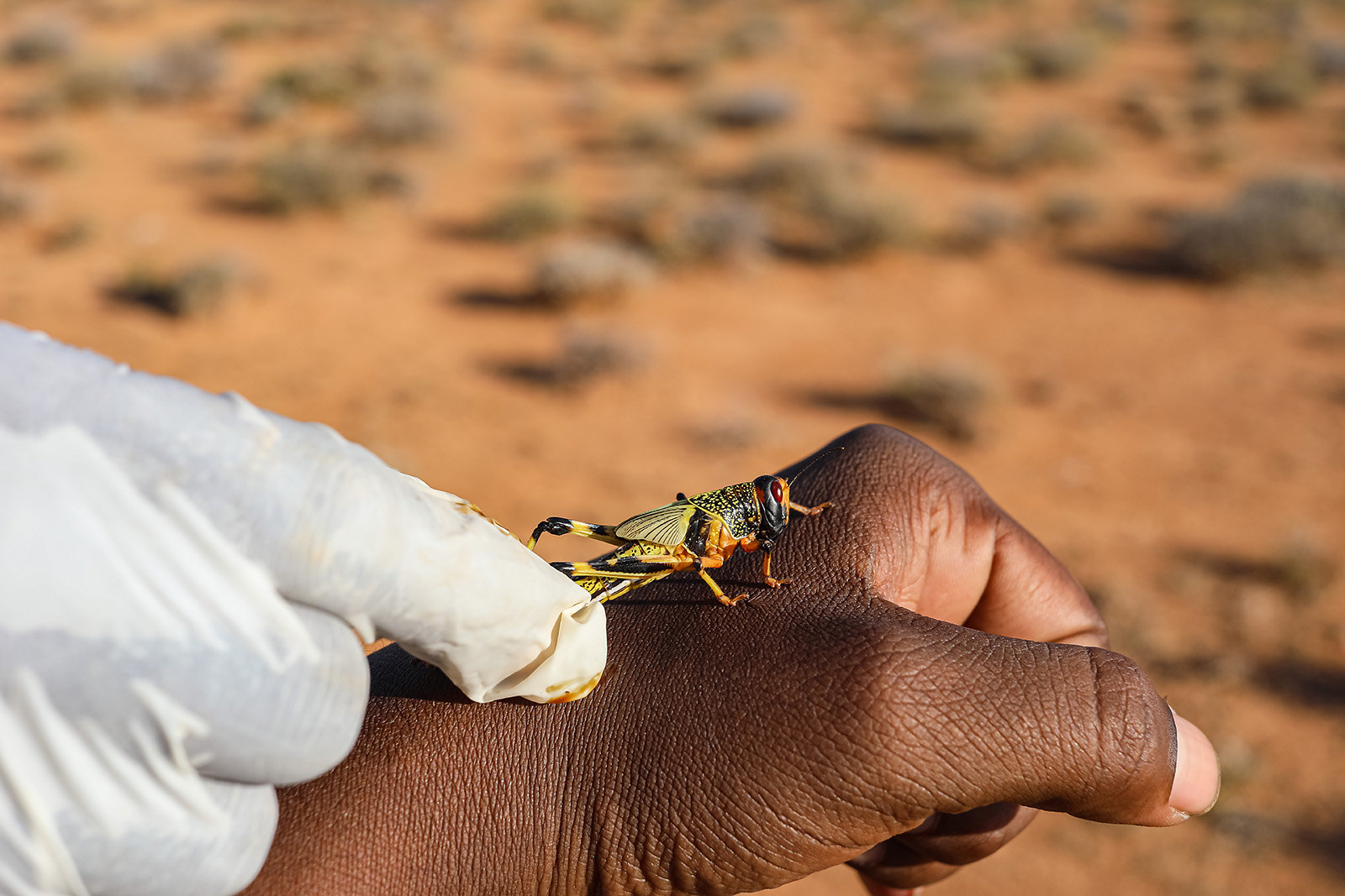 Desert locust response in Somalia