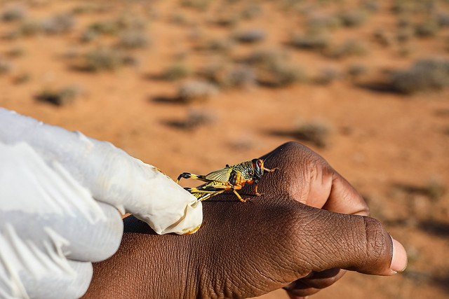 Desert locust response - Somalia