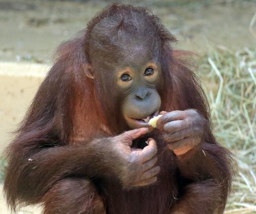 borneo orangutan Sabbar Ouwehand BB2A1436
