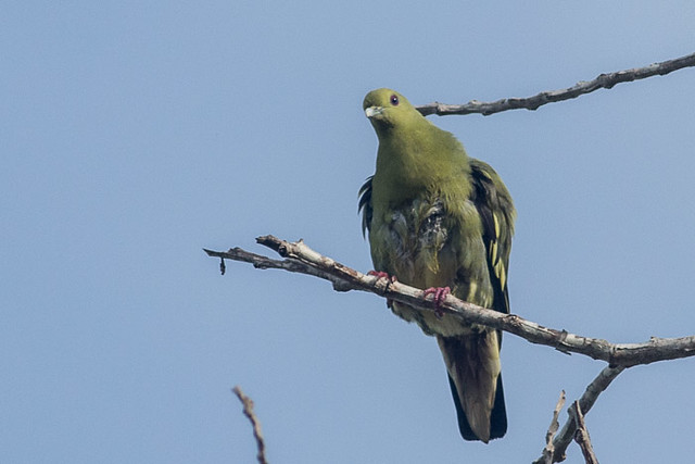 Pink-necked Green Pigeon  - female