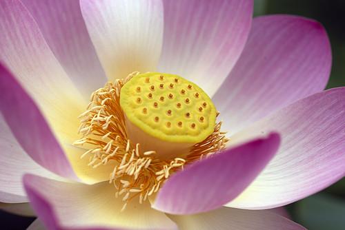 Lotus Adelaide Botanical Gardens