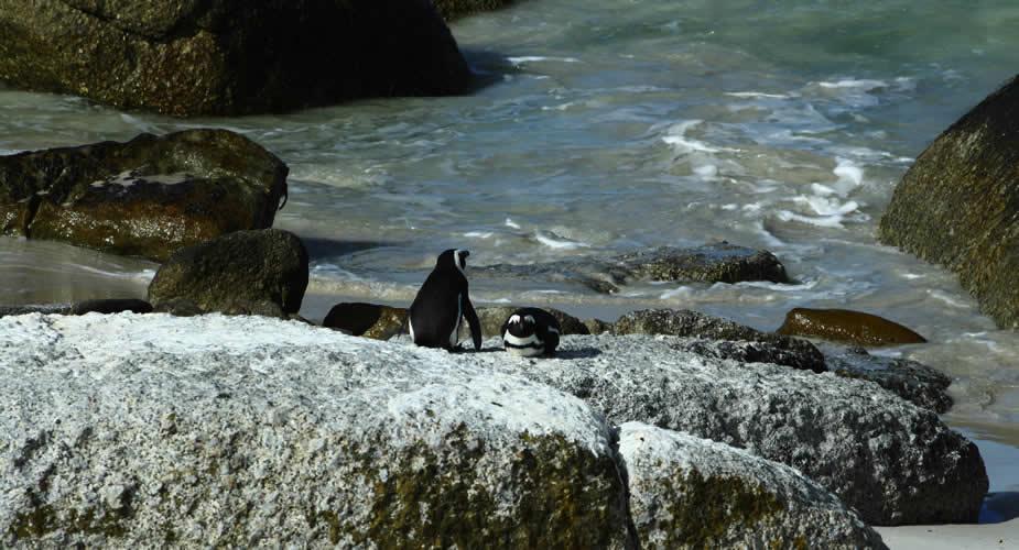 Boulders Beach pinguïns, Zuid-Afrika | Mooistestedentrips.nl