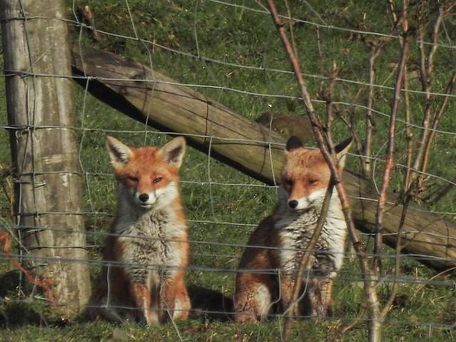 Foxes Derbyshire Kev M