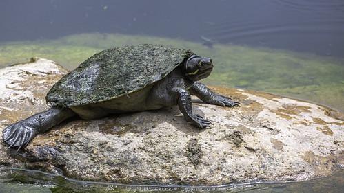 emydurasignata nature turtle brisbaneshortneckturtle