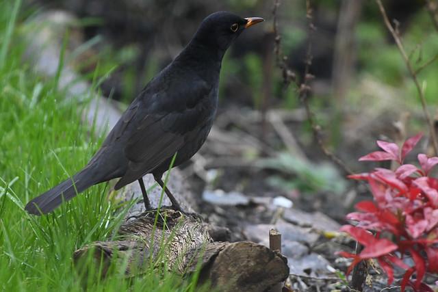 Merle -- Blackbird
