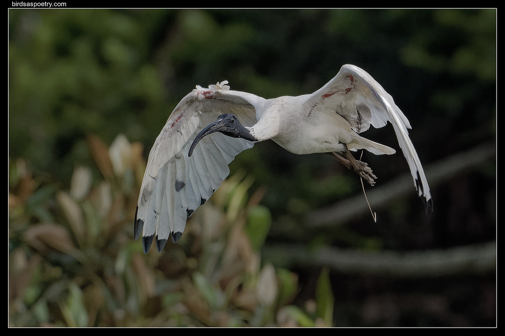 White-ibis: Controlled Glide.