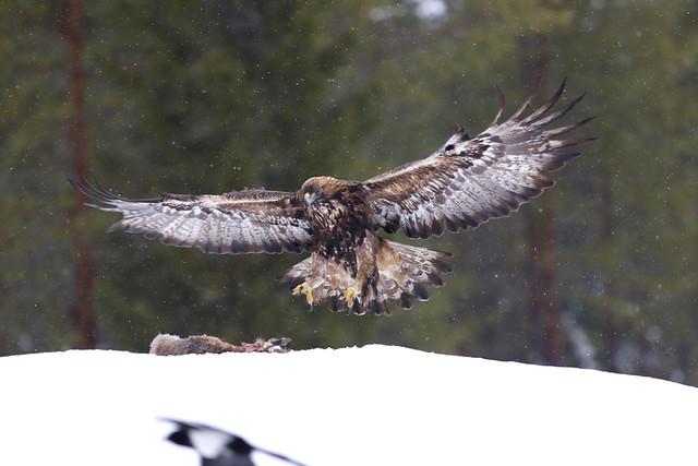 Golden Eagle on snow