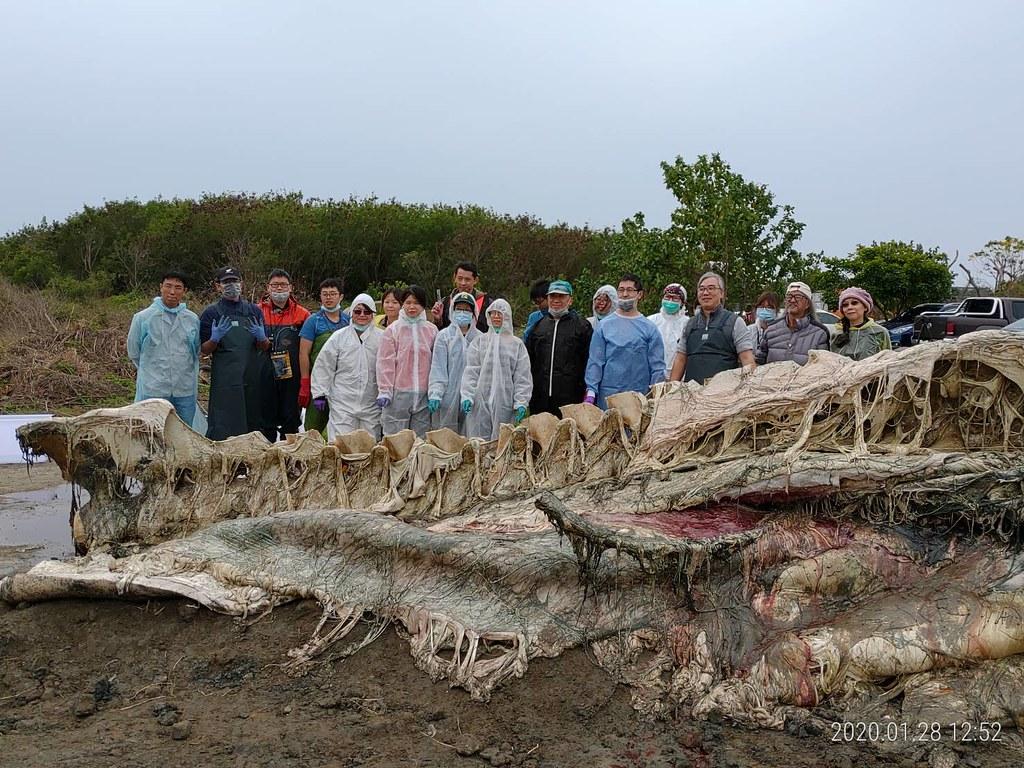 集合國內鯨豚研究保育專家,歷經數個工作天完成長濱沙灘巨鯨解剖、型態比對,證實為台灣第一次藍鯨臨門